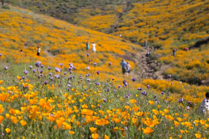 California_poppies-93