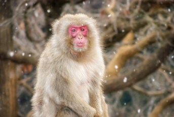 Japanese macaque monkey in snowfall