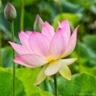 Pink lotus bloom