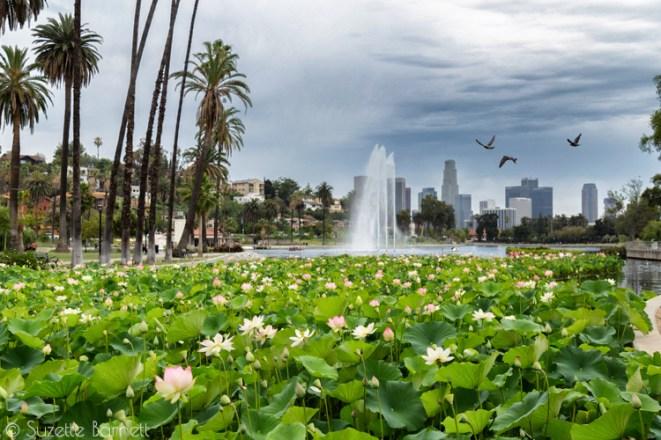 Echo Park Lake lotus with downtown LA
