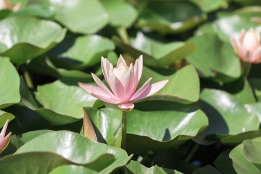 Stunning pink lotus flower