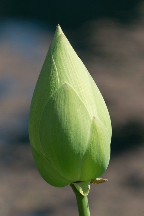 Green bud of a new lotus flower
