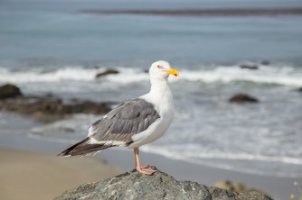 California seagull
