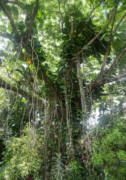 Kauai Hindu Monastery vines