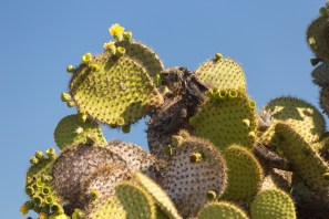 Galapagos Hybrid Iguana eating cactus blossoms on South Plaza Island