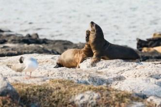 Wild sea lions on South Plaza Island, Ecuador