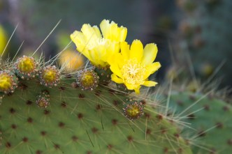 Flowering Cactus Tree on South Plaza Island
