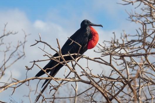 Male Frigatebird on Seymour Island