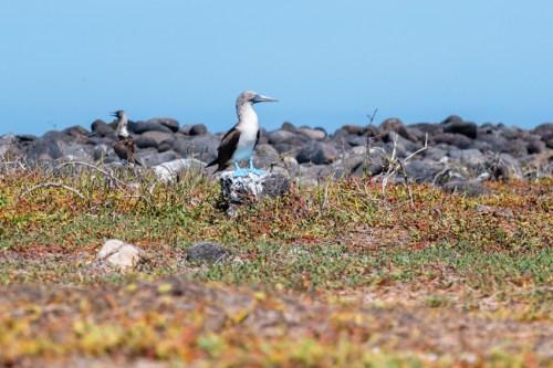 Blue Footed Booby birds on Seymour Island, Ecuador