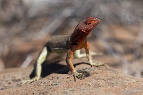 Wild lizard on Espanola Island in Galapagos National Park
