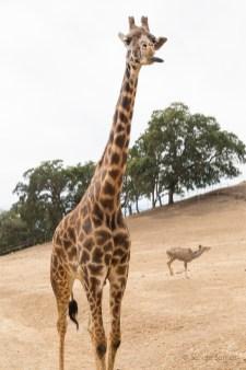 Giraffe with attitude