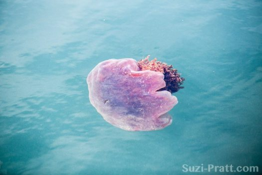Puget Sound scenery San Juan Islands Jellyfish