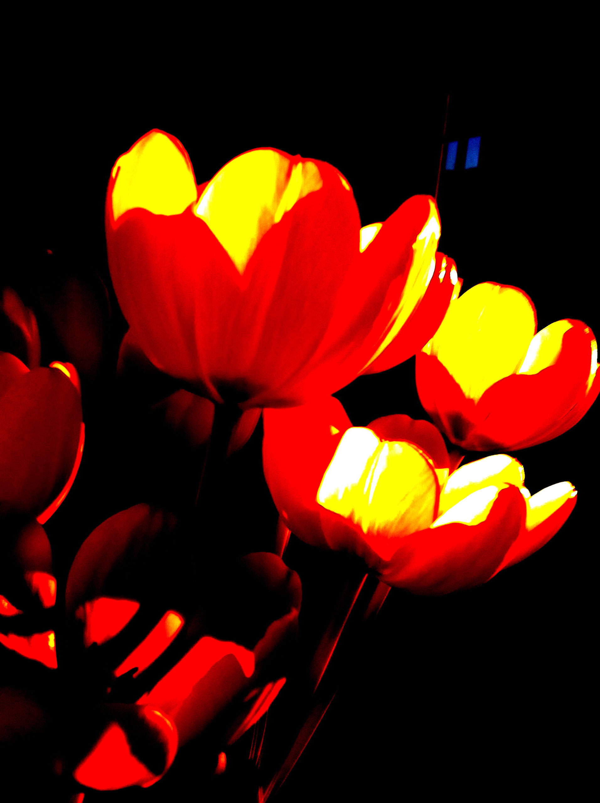 Inner and outer life of a tulip