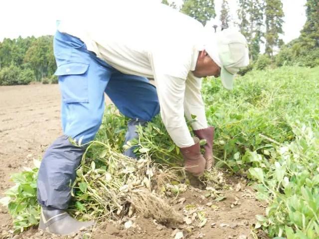 千葉県産生落花生の掘り取り、手作業