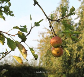 September Apples