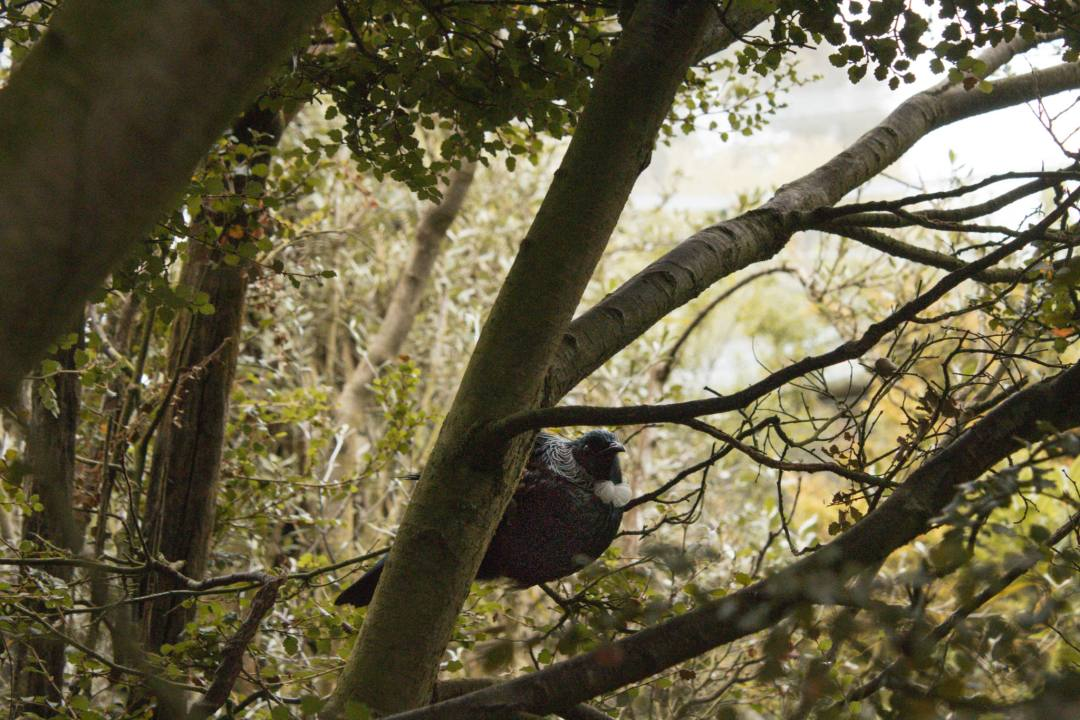 tui bird in tree in New Zealand