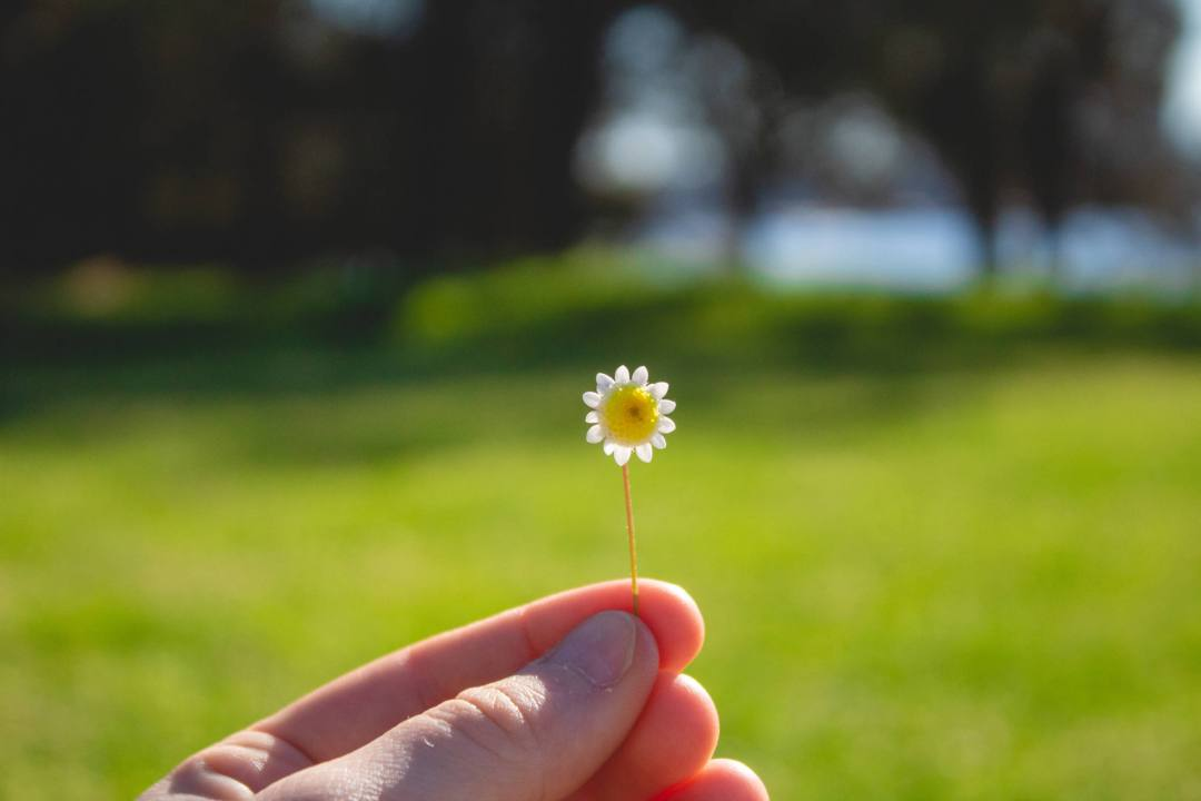 Hand holds small daisy in green field