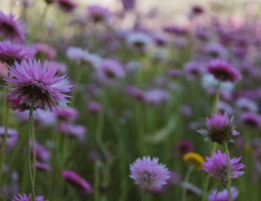 pink wildflowers in spring garden
