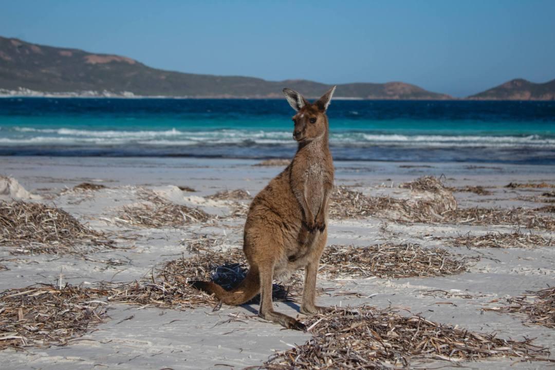 Kangaroo on Lucky Bay beach