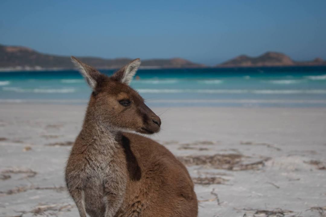 kangaroo on beach in esperance