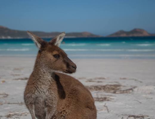 kangaroo on beach in esperance