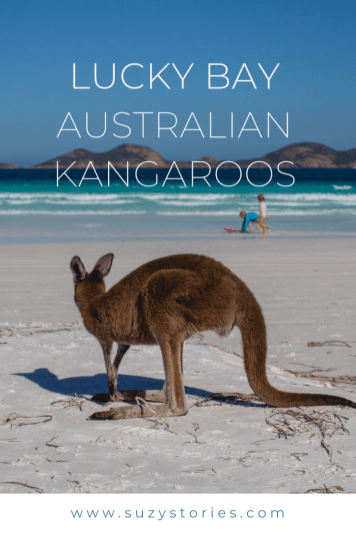 how to see the lucky bay kangaroos pin