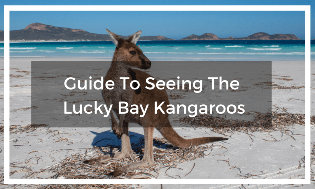 lucky bay kangaroo on beach with title text overlay
