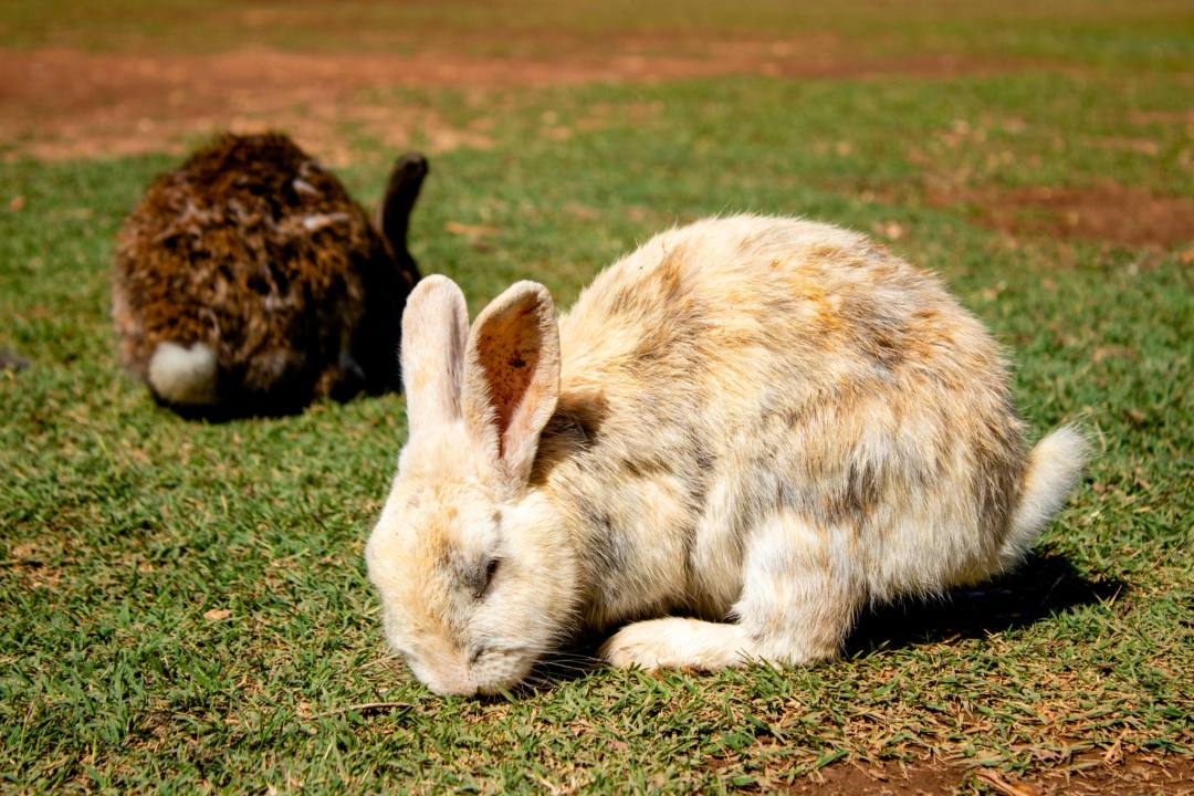 two rabbits eat grass on lokrum island