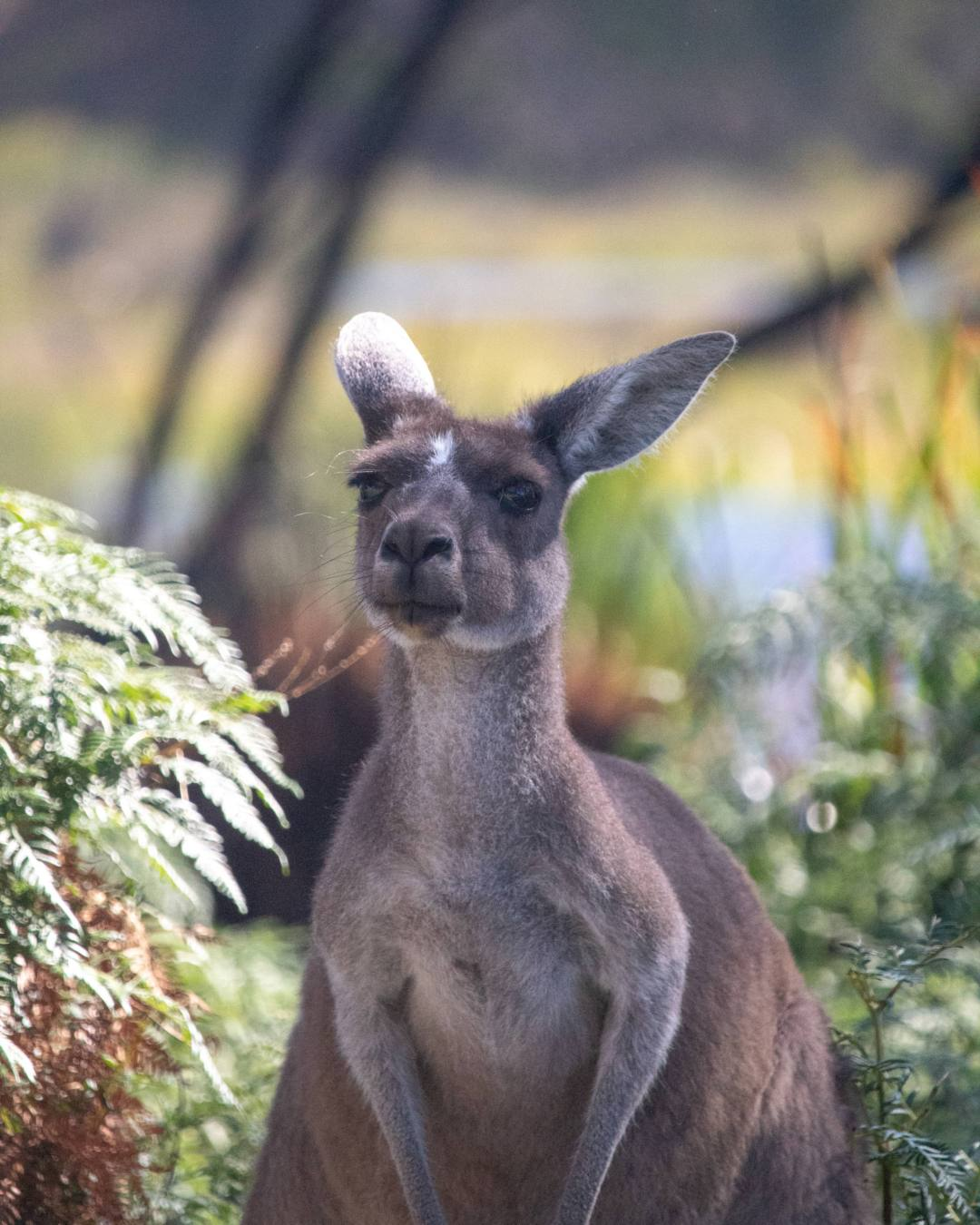 kangaroo looks at camera