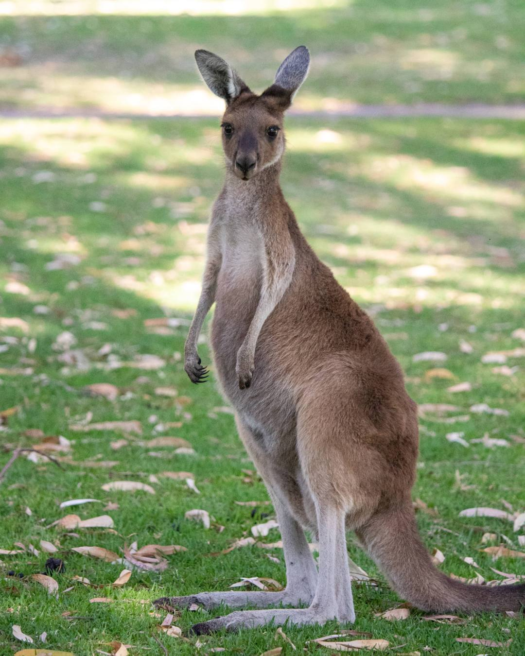 kangaroo stands in yanchep national park