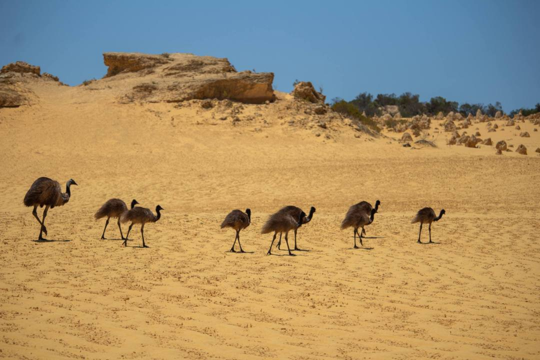 emus walking across sand in nambung national park