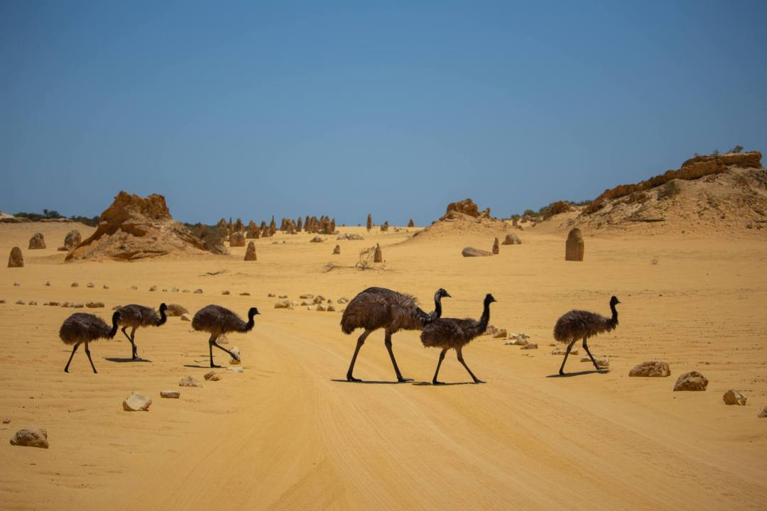 emus walking across sand road