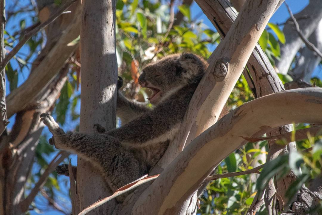 koala yawning in yanchep national park