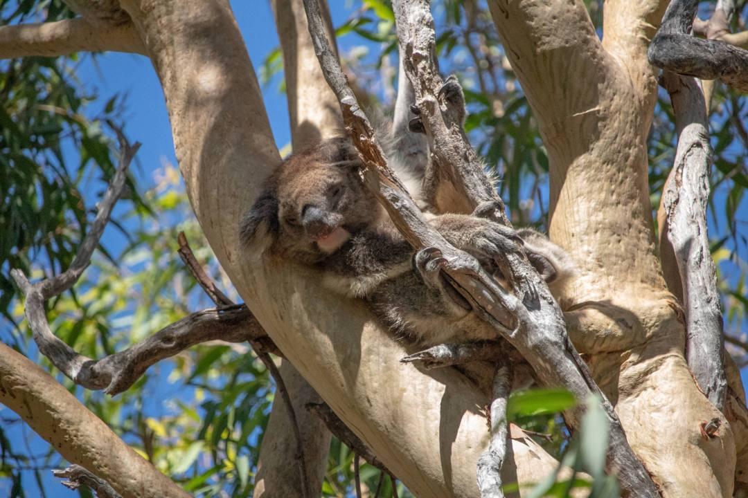 koala sleeping in tree yanchep national park