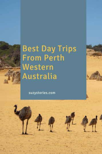 emus walk across yellow sand in the pinnacles desert