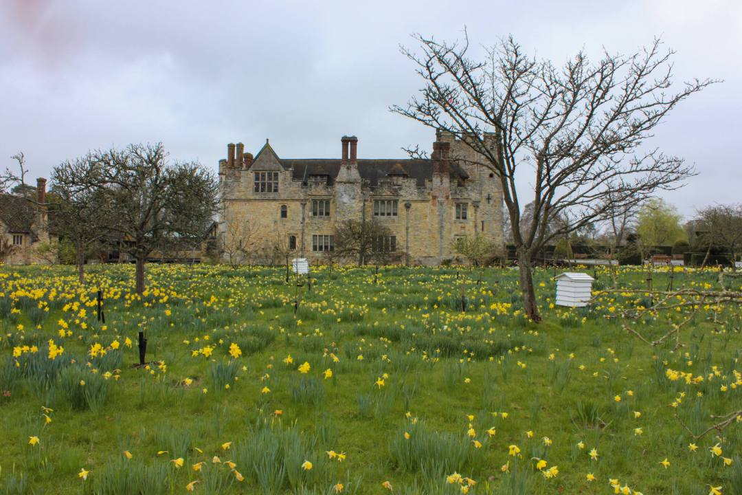 daffodils in a large green field outside Hever Castle in March