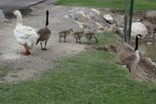 Mixed Family of Geese
