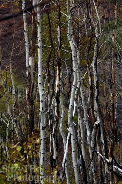Tangles of aspen
