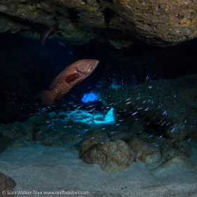 Grouper hunting Silversides at Snapper Hole (on camera strobes), Cayman 2016