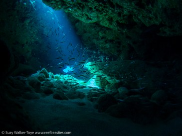 Silversides at Snapper Hole (no strobes), Cayman 2016
