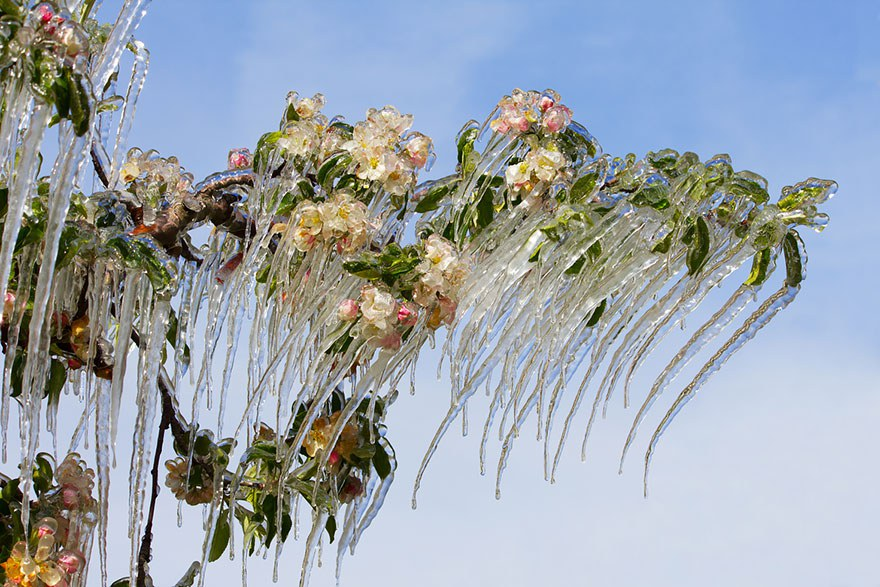 Icicles On The Blooming Apple Tree