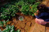 Plucking fresh organic vegetables