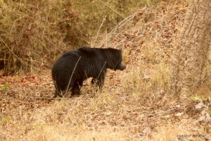 sloth_bear_ranjit_svasara_blog