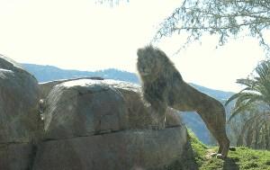 Lion struts his stuff