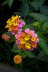 Floral Colors of Tahiti