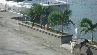 Goats invading the ramp at Soper's Hole