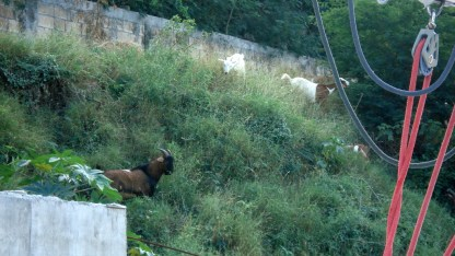 Goats above retaining wall 1 and below road retaining wall. They go anywhere/everywhere