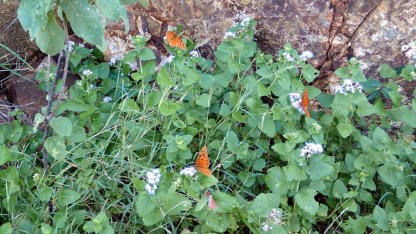 Many butterflies on the hike to the Bight on Norman