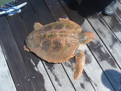 Turtle on the dock