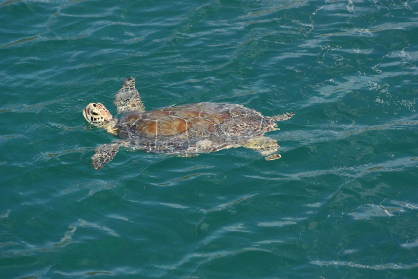 One of many of the Green Island Green turtles